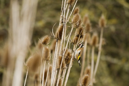 Goldfinch (Carduelis-carduelis) feeding on thistle seed photo