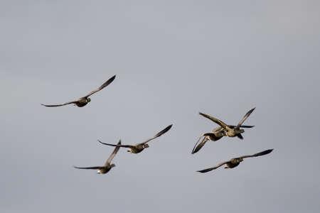 brent: Brent Goose (Branta bernicla)  in flight blue sky