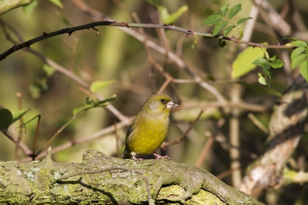 greenfinch: Greenfinch (Carduelis chloris) perched on a branch