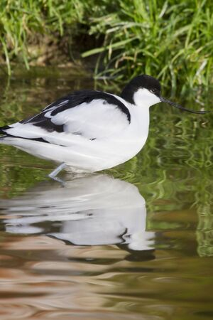 avocet: avocet ( recurvirostra avosetta) standing in the water  with Reflection