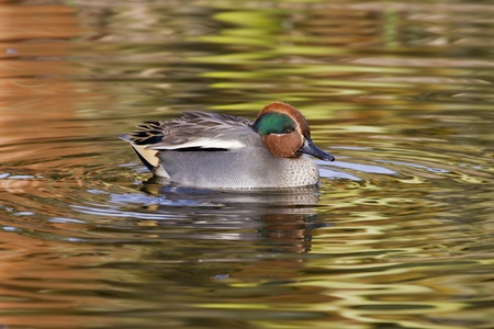 A Beautiful Teal Duck swimming on the lake Stock Photo - 12747151