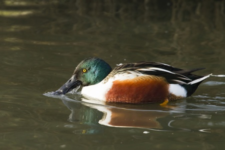 Shoveler ( Anas clypeata) swimming on the lake