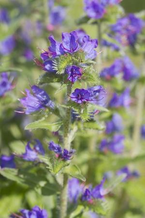 echium: VIPERS BUGLOSS  (Echium vulgare) Wildflower found in the UK
