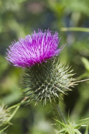 distel: A Beautiful Distel Blume in voller Bl�te Lizenzfreie Bilder