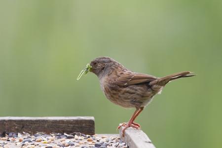 prunella: Dunnock (Prunella modularis) feeding on a bird table
