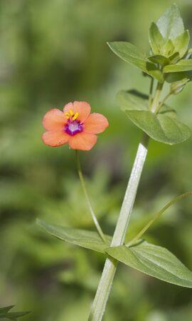 arvensis: Scarlet Pimpernel (Anagallis arvensis) Wildlflower found in the UK Stock Photo