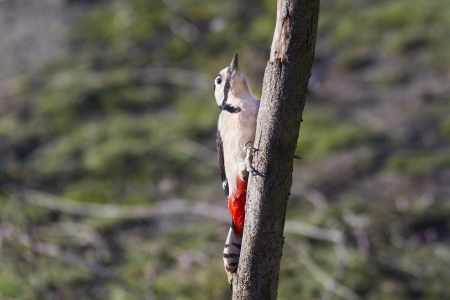 Great Spotted Woodpecker (Dendrocopos major) on a tree trunk photo