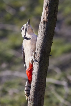 dendrocopos: Great Spotted Woodpecker (Dendrocopos major) on a tree trunk