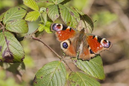 peacock butterfly: Pavo real de mariposa (Inachis io) se encaram� en una planta