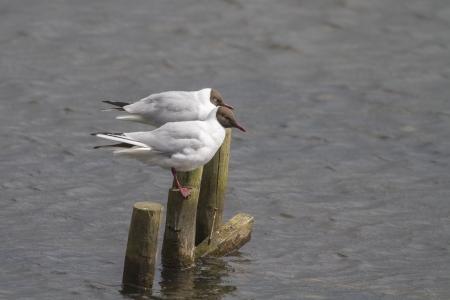 larus ridibundus: black headed gull (Larus ridibundus)  Perched on the lake