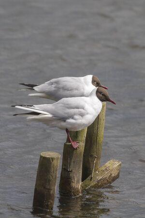 ridibundus: black headed gull (Larus ridibundus)  Perched on the lake