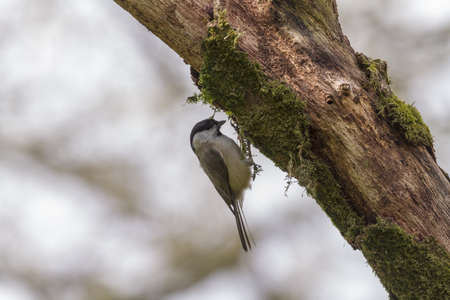 Willow Tit  (Poecile montanus) on a tree