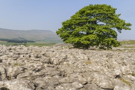 yorkshire dales: Pavimento de piedra caliza en la Inglaterra de Yorkshire Dales