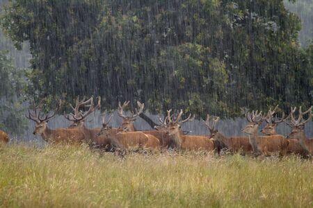 cervus: Red deer  Cervus elaphus in heavy rain