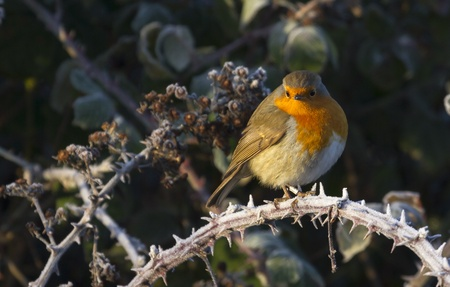 Robin (Erithacus rubecula) perched on a frosty branch