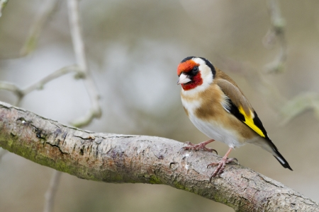 Goldfinch (Carduelis-carduelis) perched on a branch photo