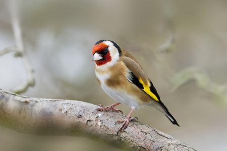 Goldfinch (Carduelis-carduelis) perched on a branch