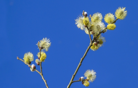pussy willow branches  catkin with a blue sky