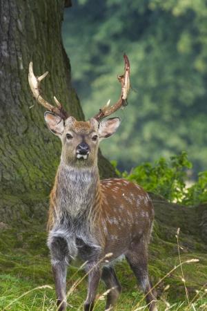 nippon: Sika Deer  (Cervus nippon) closeup in the wild