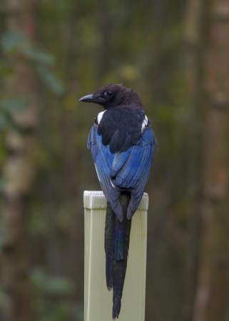 Magpie (Pica pica)  perched on a post in the rain photo