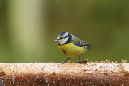 caeruleus: Bluetit (Parus caeruleus) posado sobre un tronco