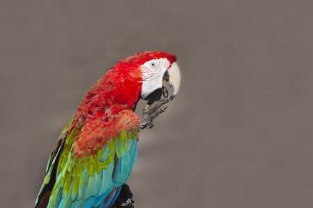 A beautiful Scarlet macaw perched on a branch photo