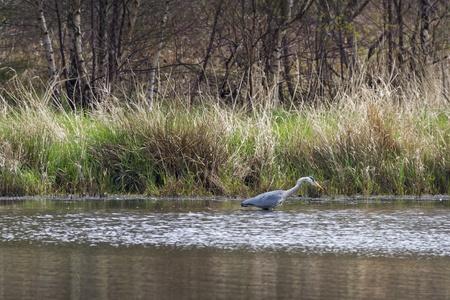 grey heron: Grey Heron (Ardea cinerea) hunting in the lake