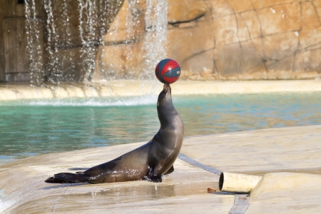 Sea Lion playing with a ball closeup