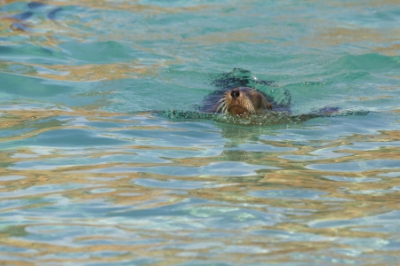 Sea Lion relaxing in the water closeup photo