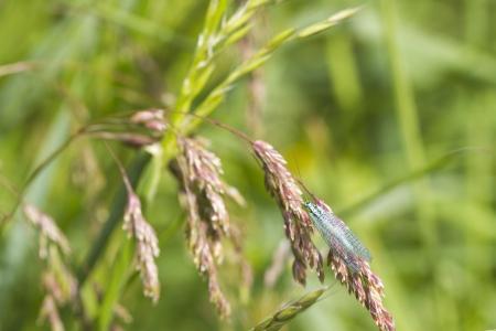 chrysoperla: Lacewing (carnea chrysoperla) on a grass stem