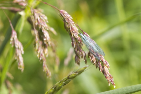 chrysoperla: Lacewing (carnea chrysoperla) on a grass stem