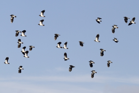 lapwing: Lapwing (Vanellus vanellus) in flight with blue sky Stock Photo
