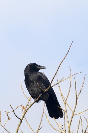 carrion: Carrion Crow perched high in the tree Stock Photo
