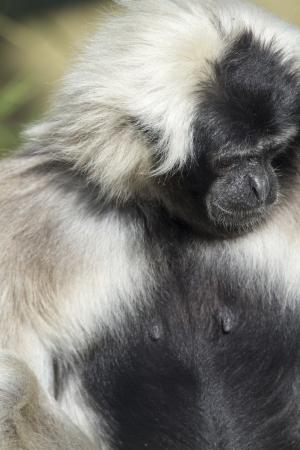 Closeup of this black and white Gibbon photo