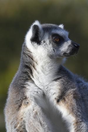 Ring-tailed lemur  (Lemur catta) resting in the wild