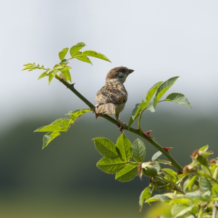 rose bush: Tree Sparrow perched in a rose bush Stock Photo