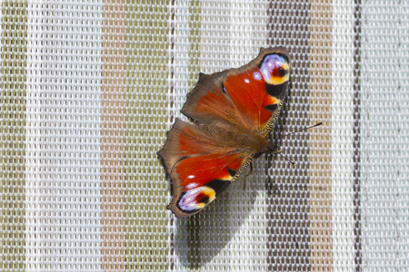 peacock butterfly: Peacock mariposa (Inachis io) de cerca en una tumbona