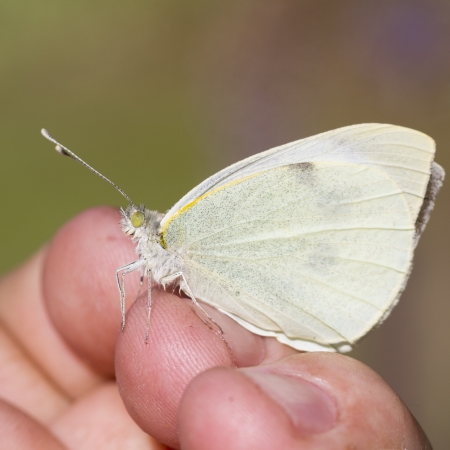 large white ,  Pieris brassicae perched on a hand photo