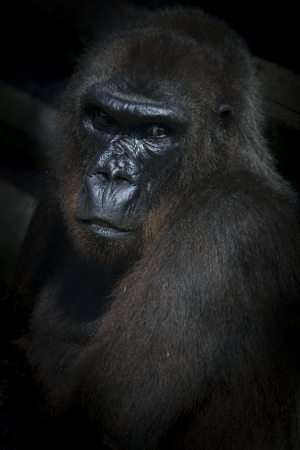 Gorilla closeup low key photo