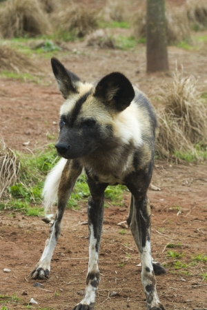 lycaon pictus: African painted wild dog (Lycaon pictus) closeup Stock Photo