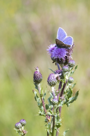 polyommatus icarus: The Common Blue (Polyommatus icarus) is a small butterfly in the family Lycaenidae.