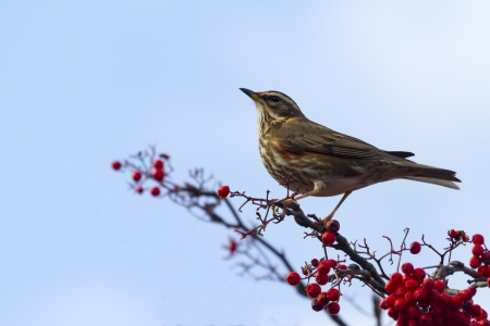 Redwing  (Turdus iliacus) perched on a branch with red berrys Stock Photo