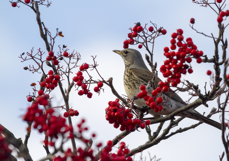 Fieldfare   Turdus pilaris  perched in a tree with red berrys photo