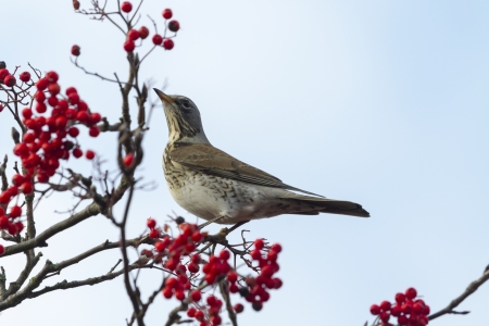 Fieldfare  (Turdus pilaris) perched in a tree with red berrys photo