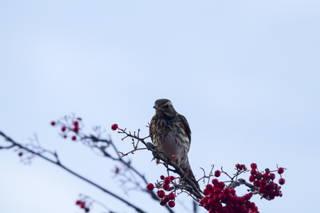 turdus: Redwing  (Turdus iliacus) perched on a branch with red berrys Stock Photo