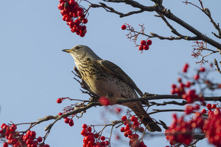 Fieldfare  (Turdus pilaris) perched in a tree with red berrys