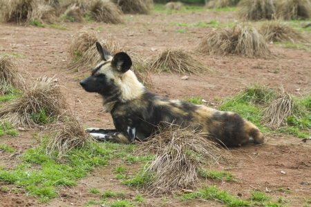 African painted wild dog (Lycaon pictus) closeup photo