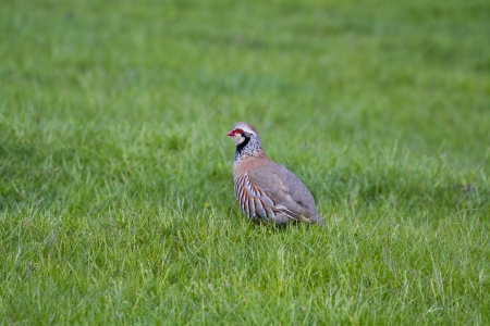 rufa: Red Legged Partridge (Alectoris rufa) standing on grass