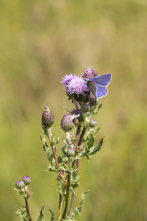 polyommatus: The Common Blue (Polyommatus icarus) is a small butterfly in the family Lycaenidae.