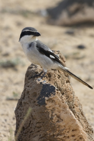 Southern Grey Shrike -Lanius meridionalis standing on a rock